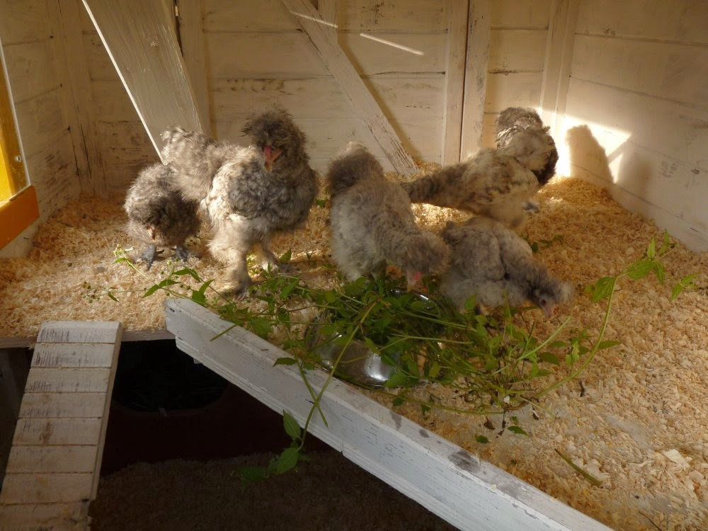 Daar zijn de kipjes!
